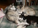 Photo of our Husky dogs and Border Collie